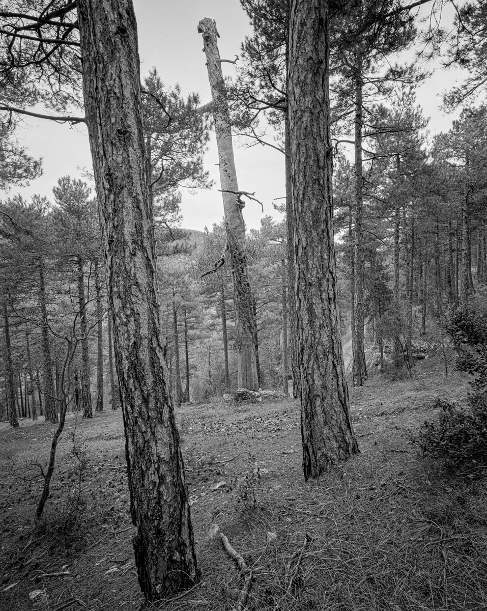 El Pi del Comunet. Vilafranca. - Arbres