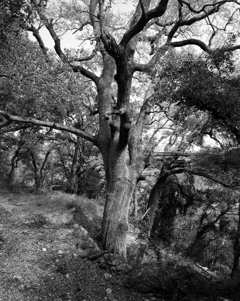 El Roure Agre. Vallibona - Arbres