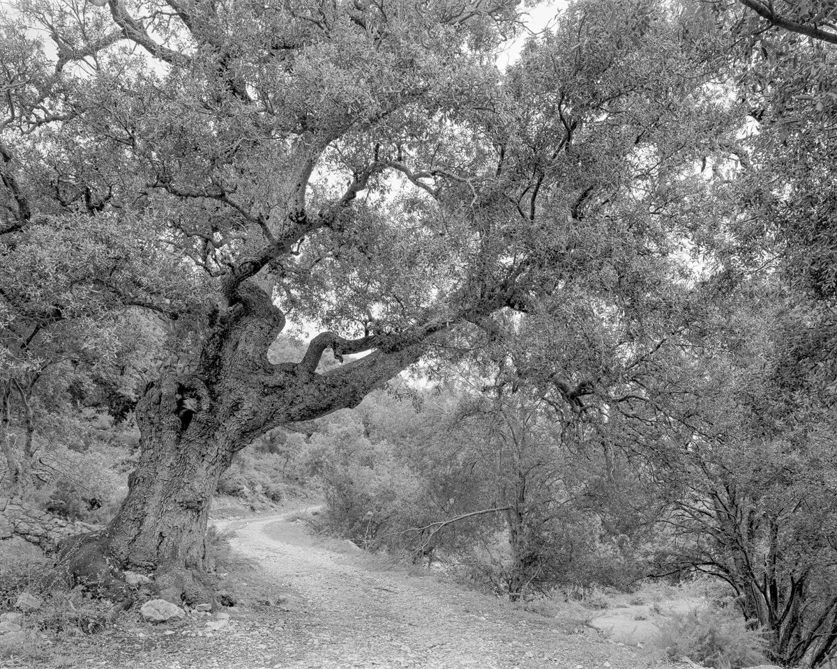 La Carrasca del Mas de Miquel. Vallibona - Arbres