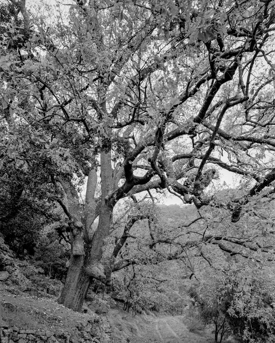 El Roure de Pasqualet. Vallibona - Arbres