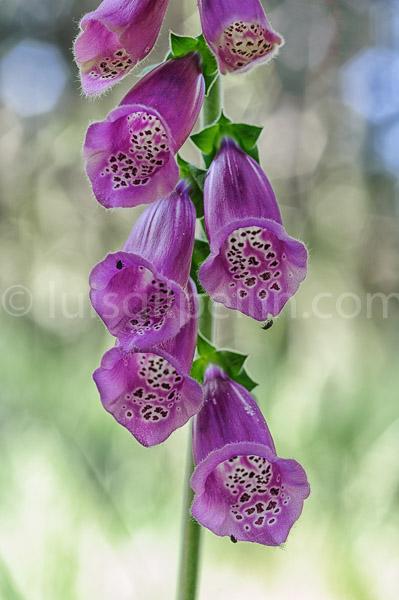 Digitalis purpurea - Mundo vegetal - Luis Antonio Gil  Pellín , Fotografia de naturaleza