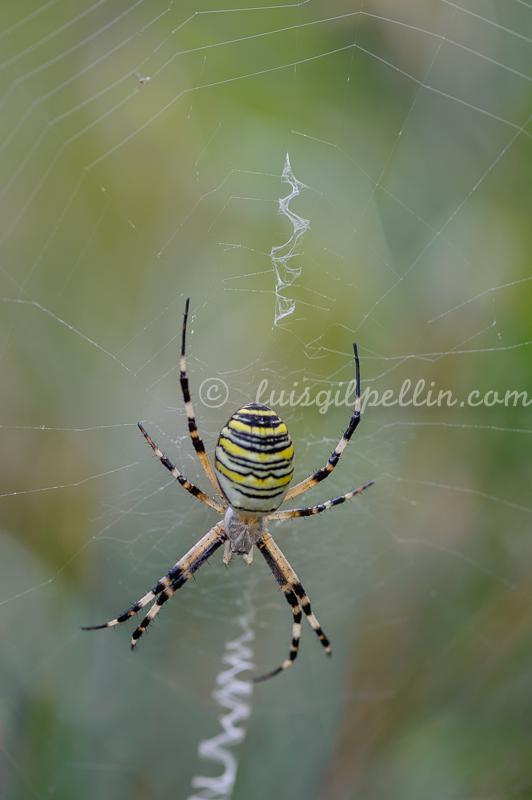 Araña tigre - Mundo macro - Luis Antonio Gil  Pellín , Fotografia de naturaleza