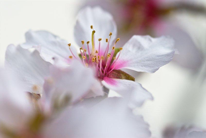 Flor de almendro - Mundo vegetal - Luis Antonio Gil  Pellín , Fotografia de naturaleza
