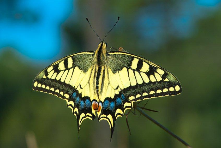 Papilio Macaón - Mundo macro - Luis Antonio Gil  Pellín , Fotografia de naturaleza