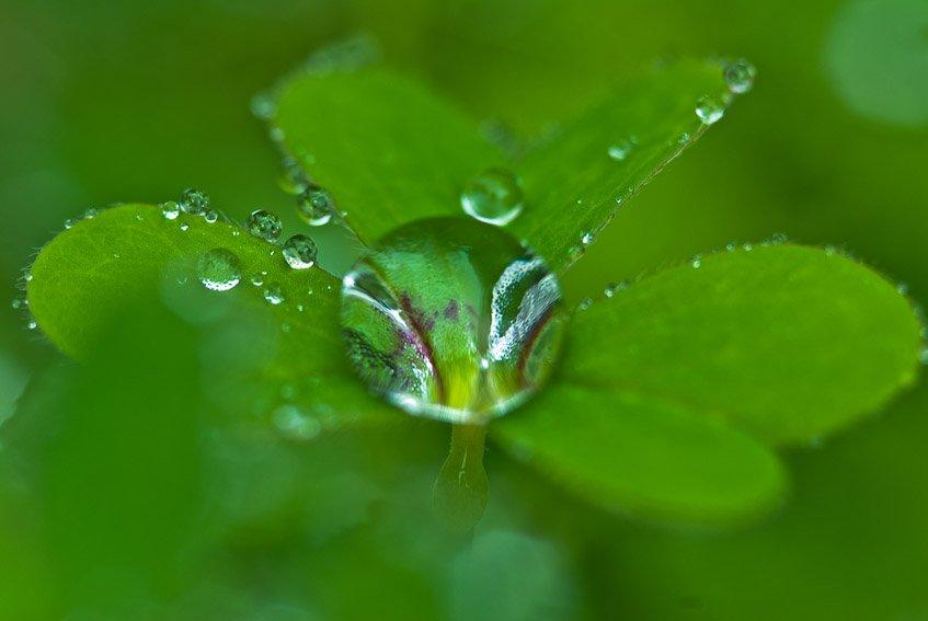 Gotita en oxalis - Mundo vegetal - Luis Antonio Gil  Pellín , Fotografia de naturaleza