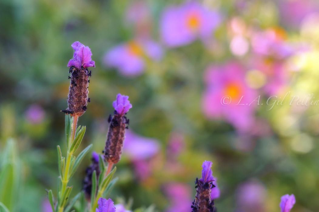 Cantuesos y jaras - Mundo vegetal - Luis Antonio Gil  Pellín , Fotografia de naturaleza