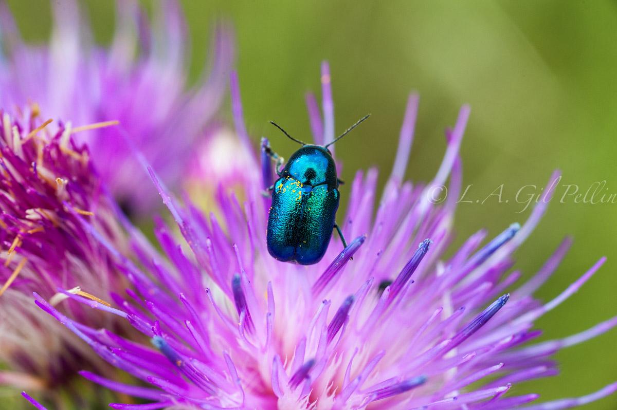 Escarabajo verdeazul - Mundo macro - Luis Antonio Gil  Pellín , Fotografia de naturaleza