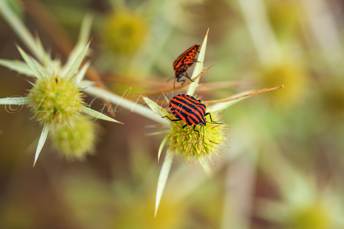 Graphosoma ilineatum italicum - Mundo macro - Luis Antonio Gil  Pellín , Fotografia de naturaleza