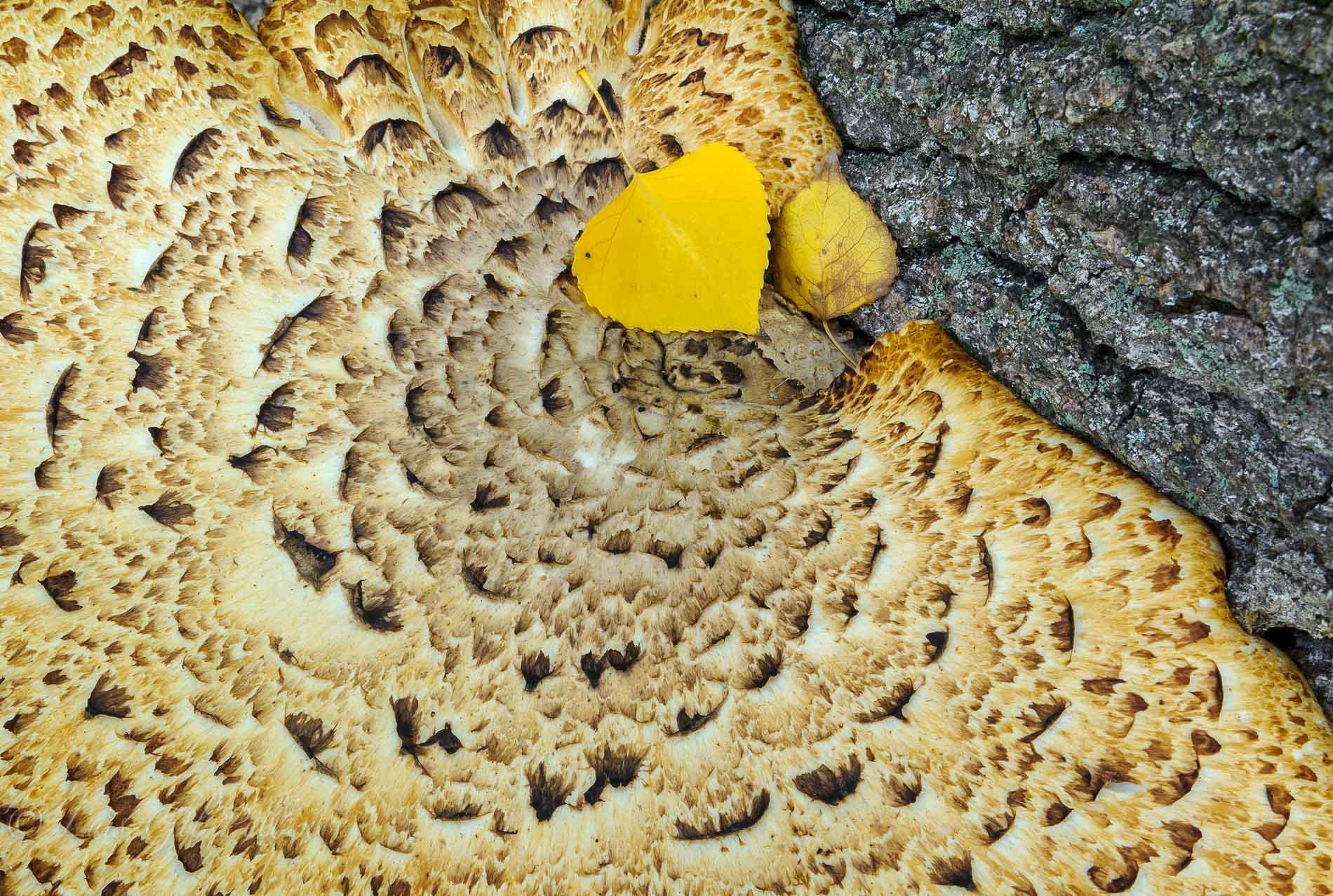 Polyporus squamosus - Ultimas imagenes - Luis Antonio Gil  Pellín , Fotografie della natura
