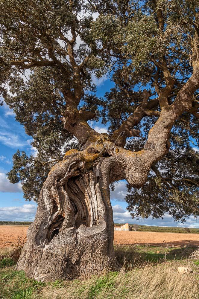 Quercus ilex, Almansa - Mundo vegetal - Luis Antonio Gil  Pellín , Fotografia de naturaleza