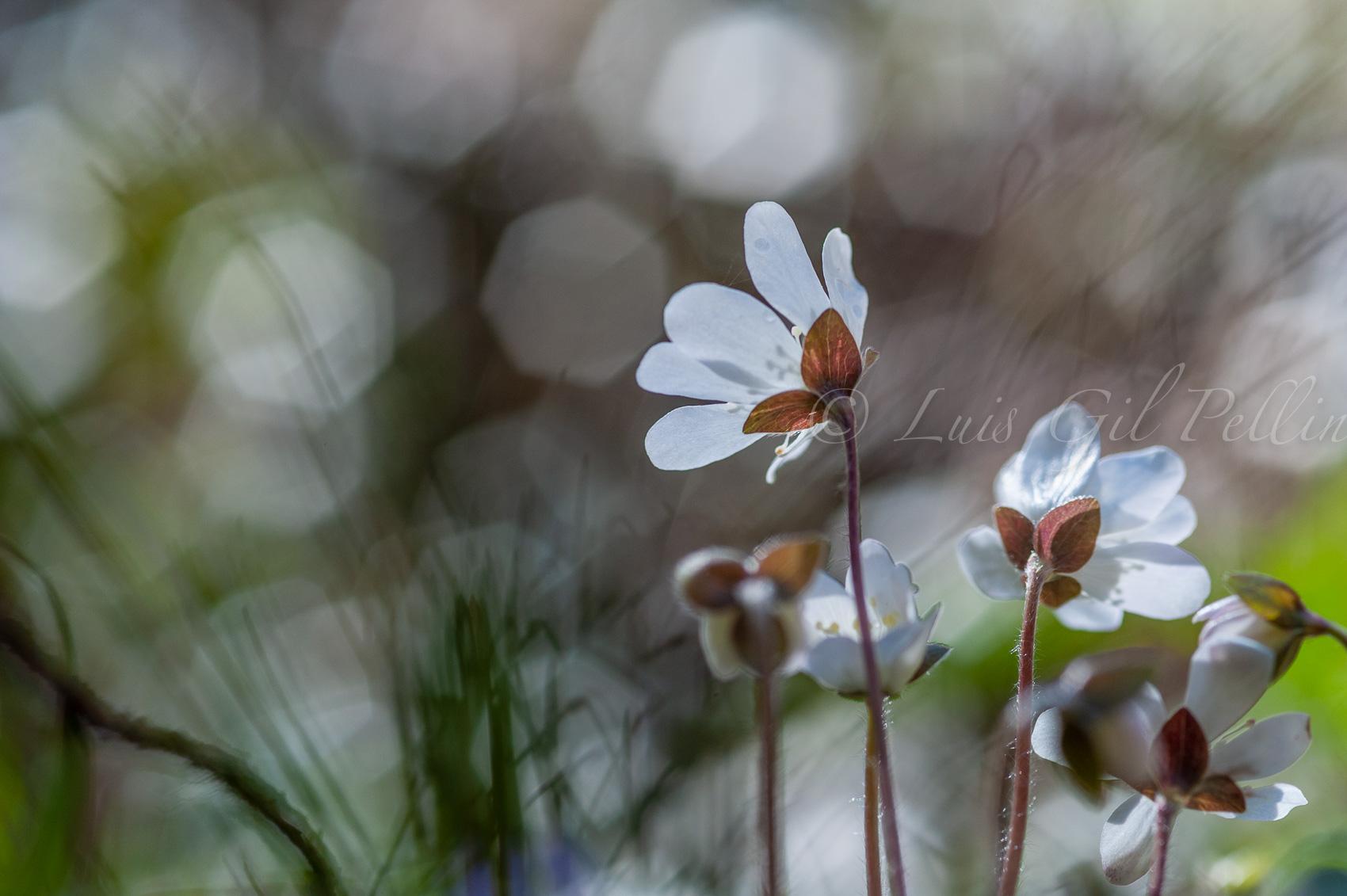 El despertar de las hepáticas - Mundo vegetal - Luis Antonio Gil  Pellín , Fotografia de naturaleza