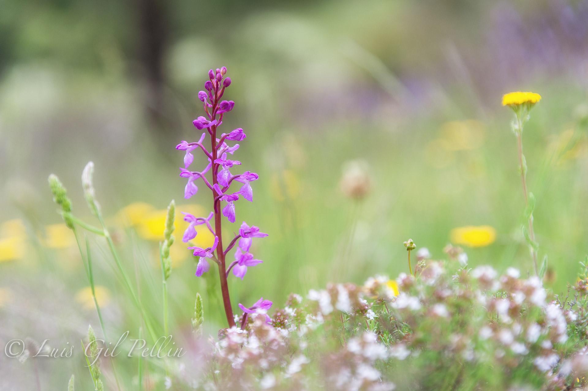 Orquídea del pinar - Mundo vegetal - Luis Antonio Gil  Pellín , Fotografia de naturaleza