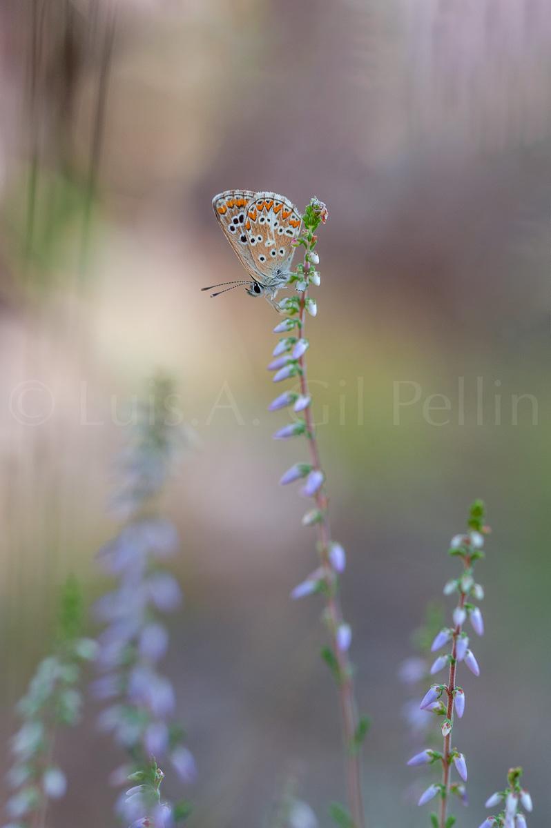 Ultimas imagenes - Luis Antonio Gil  Pellín , Fotografia de naturaleza