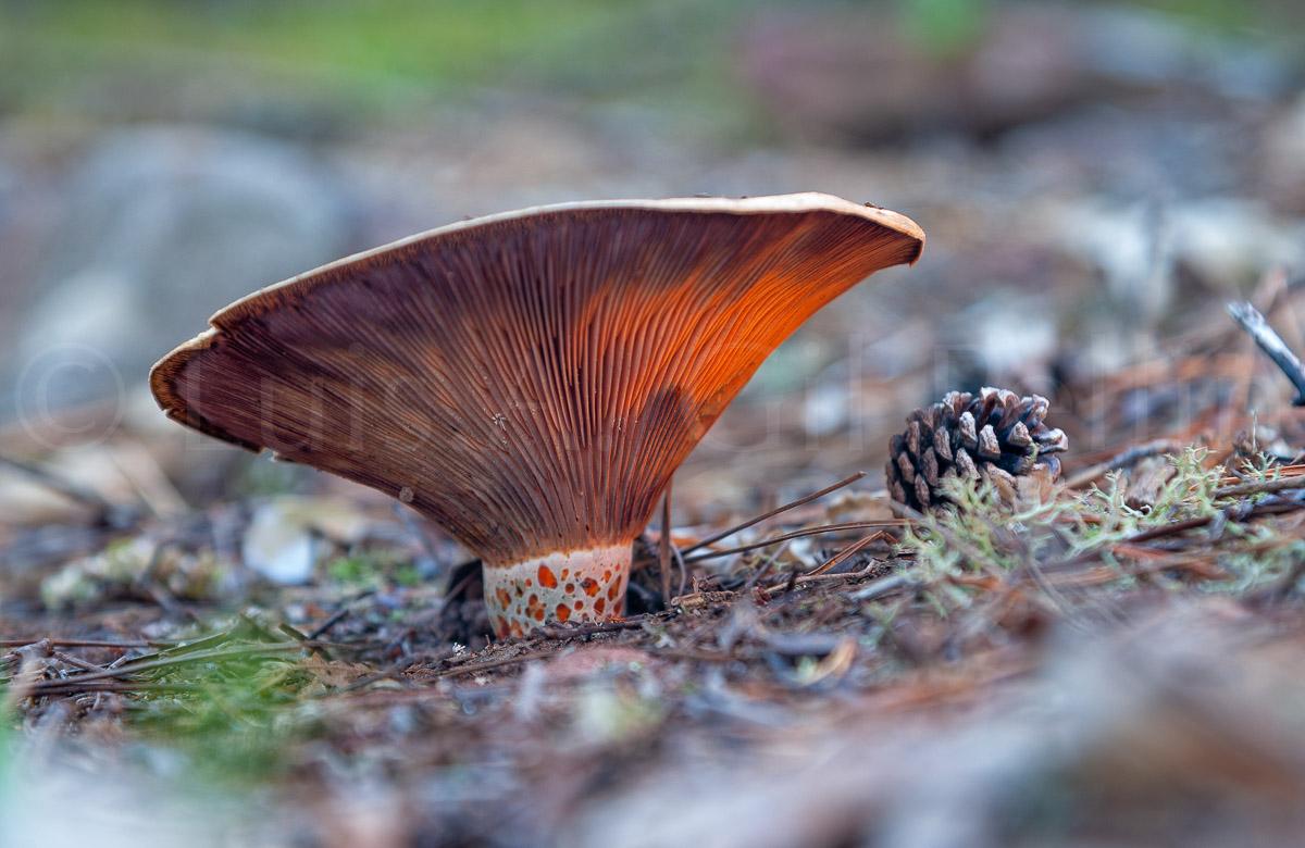 Lactarius sanguifluus - Ultimas imagenes - Luis Antonio Gil  Pellín , Fotografia de naturaleza