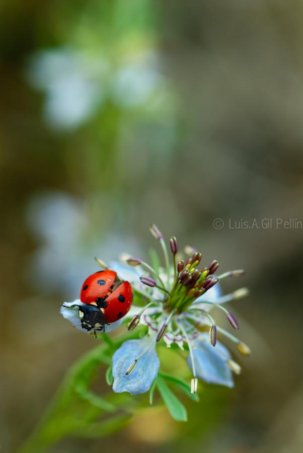 Nigelia y Coccinellidae - Mundo macro - Luis Antonio Gil  Pellín , Fotografia de naturaleza