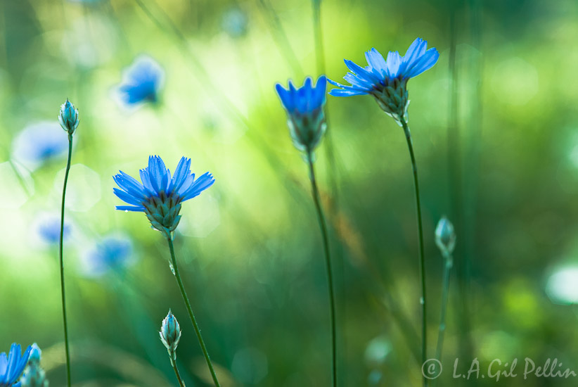 En azules - Mundo vegetal - Luis Antonio Gil  Pellín , Fotografia de naturaleza