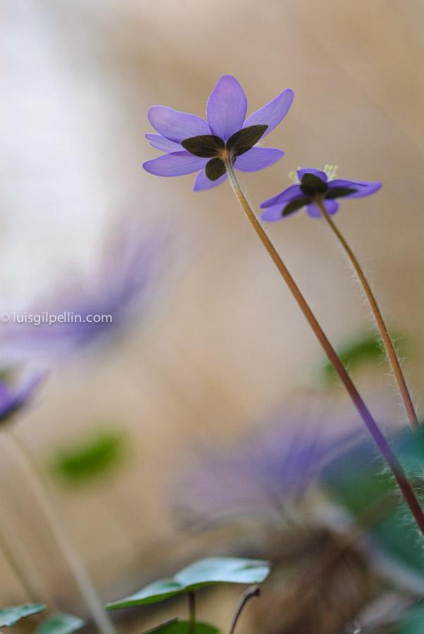 Hepatica nobilis - Mundo vegetal - Luis Antonio Gil  Pellín , Fotografia de naturaleza
