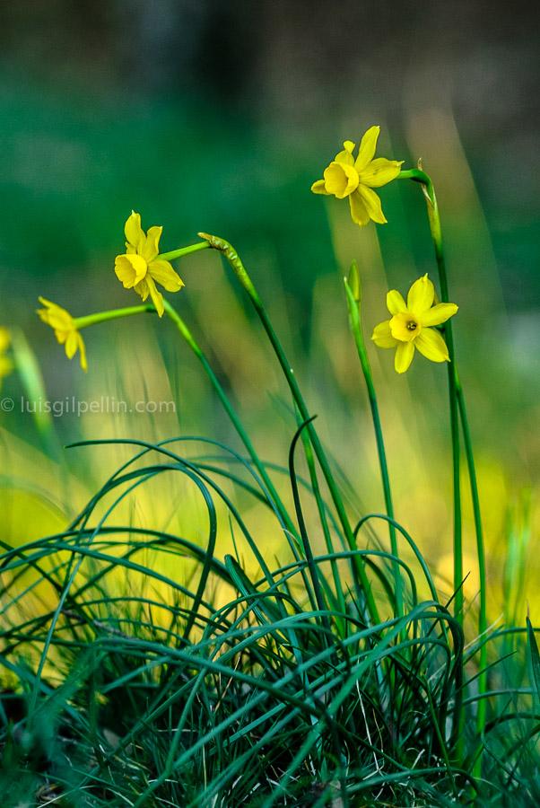 Narcisos - Mundo vegetal - Luis Antonio Gil  Pellín , Fotografia de naturaleza
