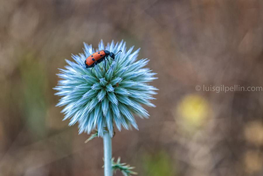 Echinops - Mundo vegetal - Luis Antonio Gil  Pellín , Fotografia de naturaleza