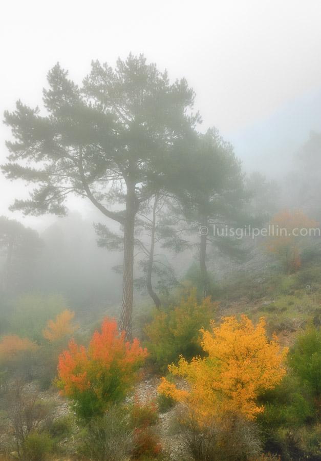 Niebla en el pinar - Buscando la luz - Luis Antonio Gil  Pellín , Fotografia de naturaleza