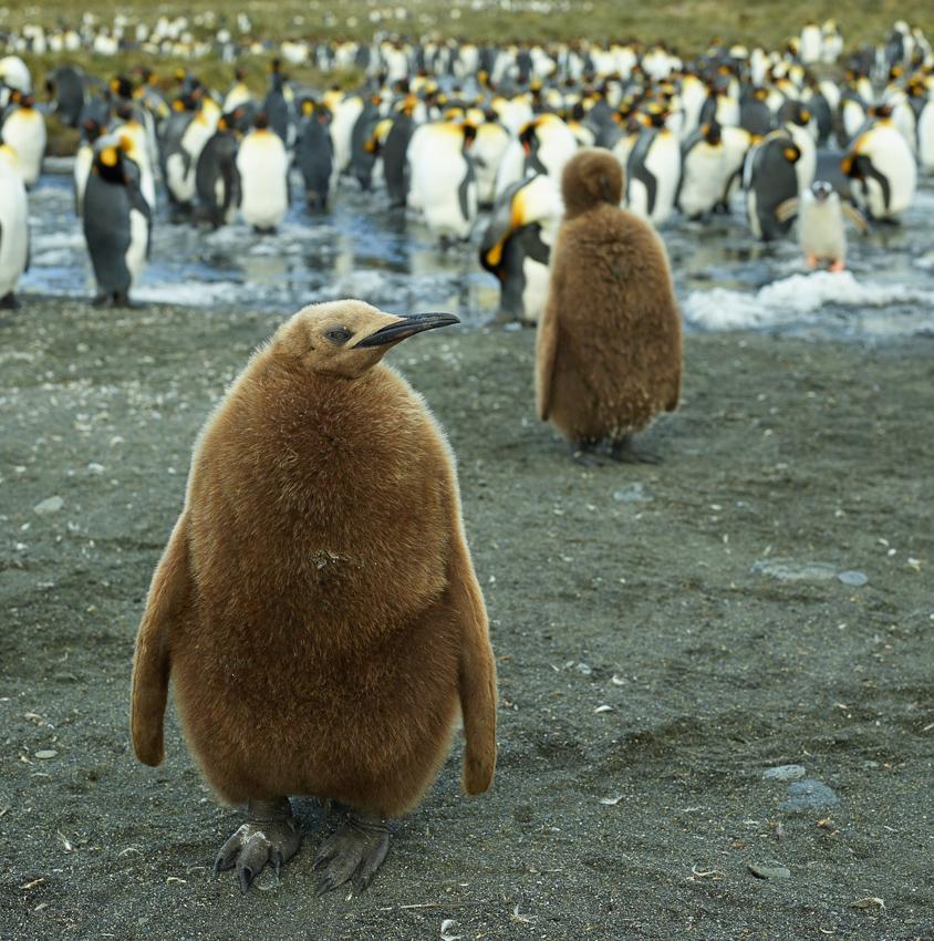 Joven de pingüino rey - Salisbury Plain - Juan Abal - South Georgia - Yolanda Moreno & Juan Abal , Fotografía de naturaleza y de viajes