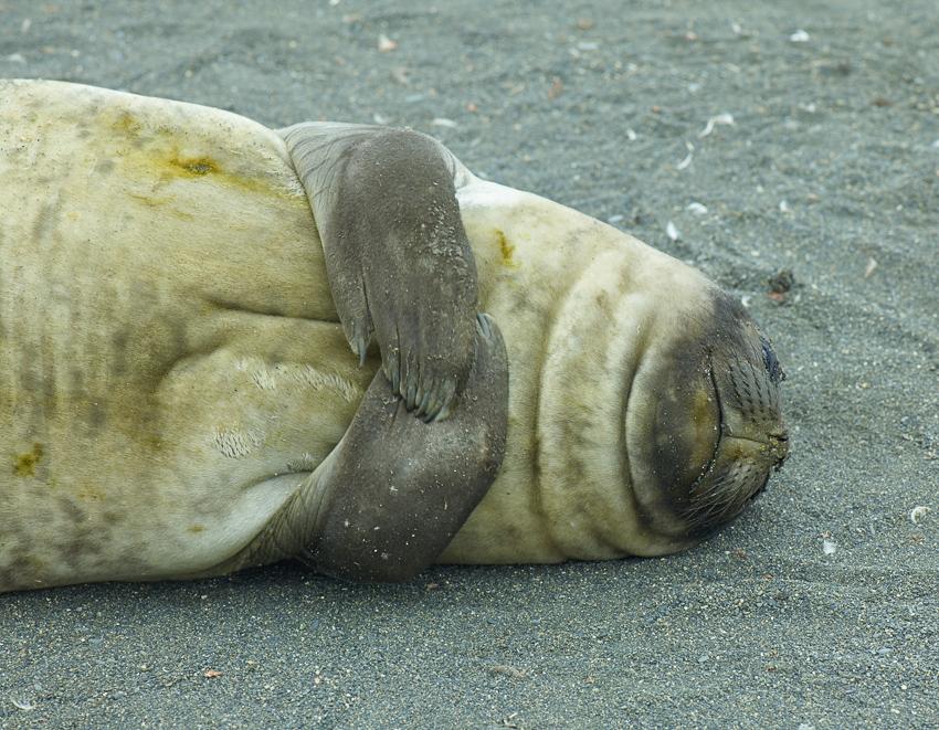 Elefante marino - Salisbury Plain - Juan Abal - South Georgia - Yolanda Moreno & Juan Abal , Fotografía de naturaleza y de viajes