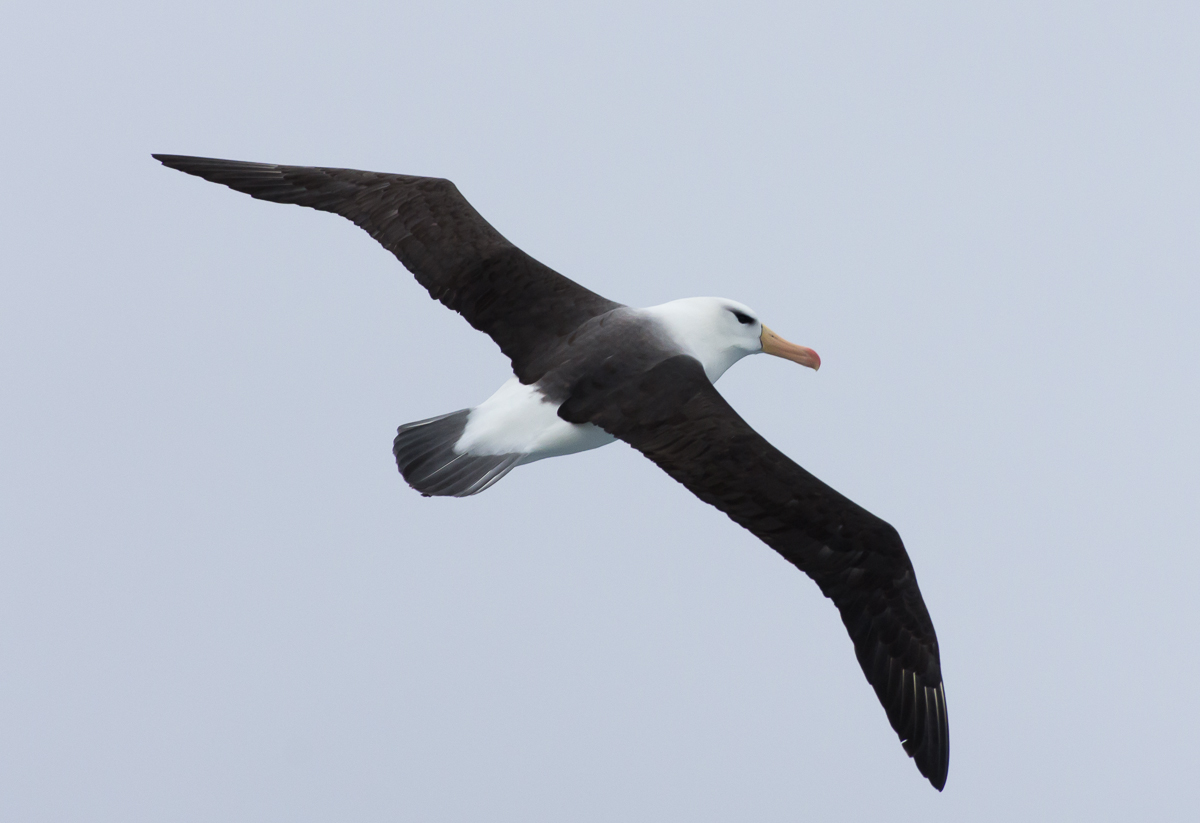 Albatros de ceja negra- Mar de Escocia - Yolanda Moreno - South Georgia - Yolanda Moreno & Juan Abal , Fotografía de naturaleza y de viajes