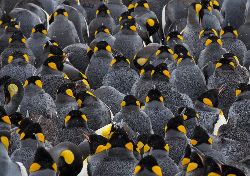 Pingüinos rey - Salisbury Plain - Yolanda Moreno - South Georgia - Yolanda Moreno & Juan Abal , Fotografía de naturaleza y de viajes