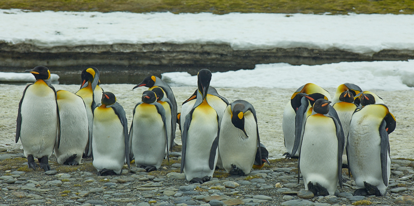 Pingüinos rey - Salisbury Plain - Juan Abal - South Georgia - Yolanda Moreno & Juan Abal , Fotografía de naturaleza y de viajes