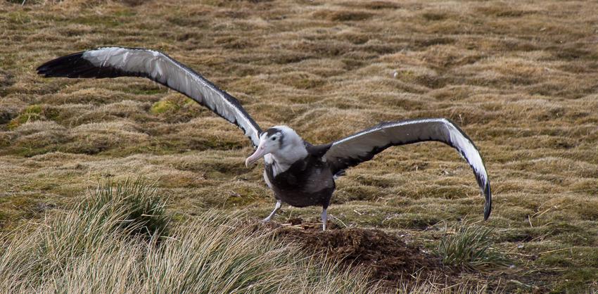 Albatros errante joven - Prion island - Juan Abal - South Georgia - Yolanda Moreno & Juan Abal , Fotografía de naturaleza y de viajes