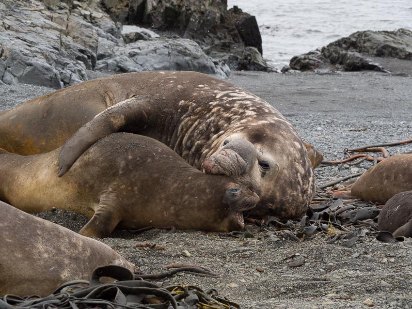 Elefantes marinos apareándose - Prion island - Juan Abal - South Georgia - Yolanda Moreno & Juan Abal , Fotografía de naturaleza y de viajes