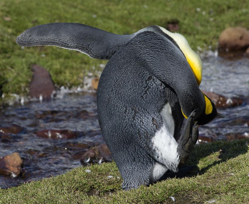 Pingüino rey - Fortuna bay - Yolanda Moreno - South Georgia - Yolanda Moreno & Juan Abal , Fotografía de naturaleza y de viajes
