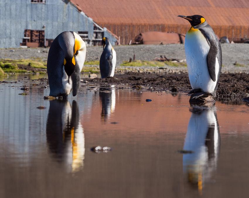 Pingüinos rey - Stromness harbour - Juan Abal - South Georgia - Yolanda Moreno & Juan Abal , Fotografía de naturaleza y de viajes