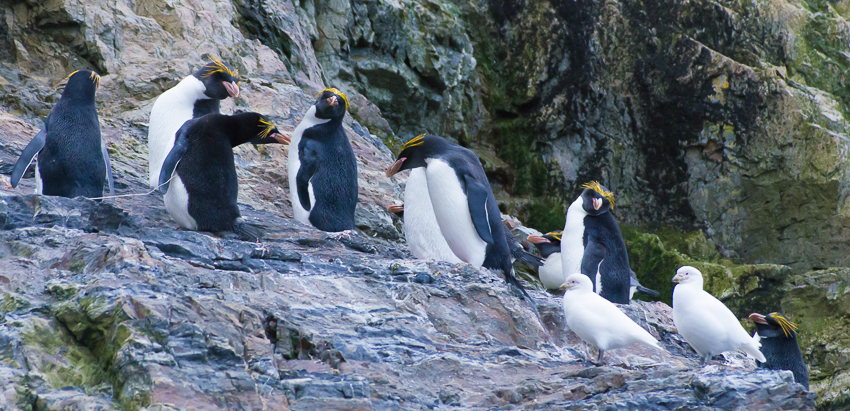 Pingüinos macaroni - Hercules bay - Yolanda Moreno - South Georgia - Yolanda Moreno & Juan Abal , Fotografía de naturaleza y de viajes