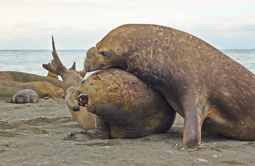 Elefantes marinos - Salisbury Plain - Juan Abal - South Georgia - Yolanda Moreno & Juan Abal , Fotografía de naturaleza y de viajes