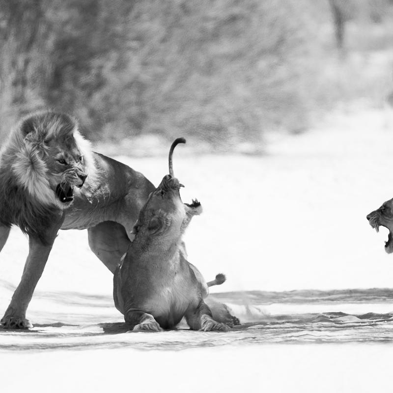 jealousy - black and white - Nuria Blanco, Nature&Wildlife Photographer