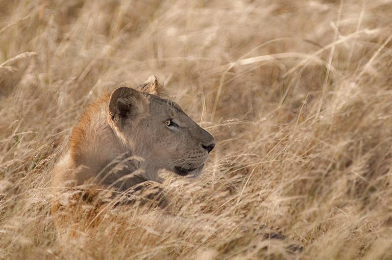 Princess of Savannah - portraits - Animal portraits by Nuria B. Arenas. Wildlife photography of Africa