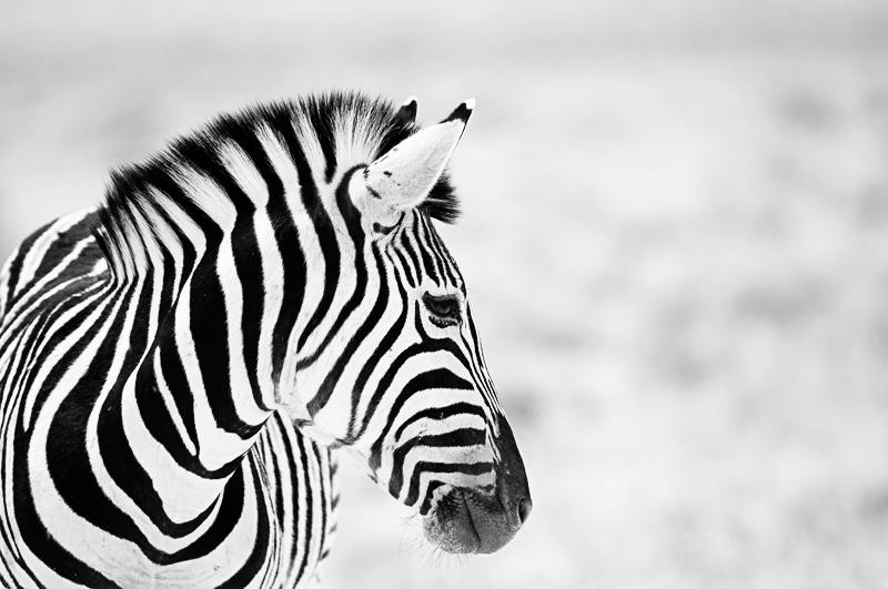 black... or white? - black and white - Nuria Blanco, Nature&Wildlife Photographer