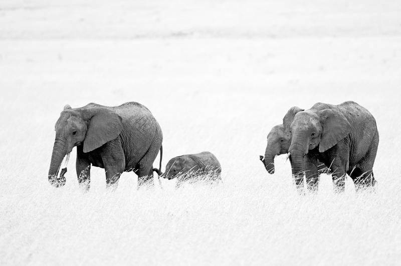 elephant kingdom - black and white - Nuria Blanco, Nature&Wildlife Photographer