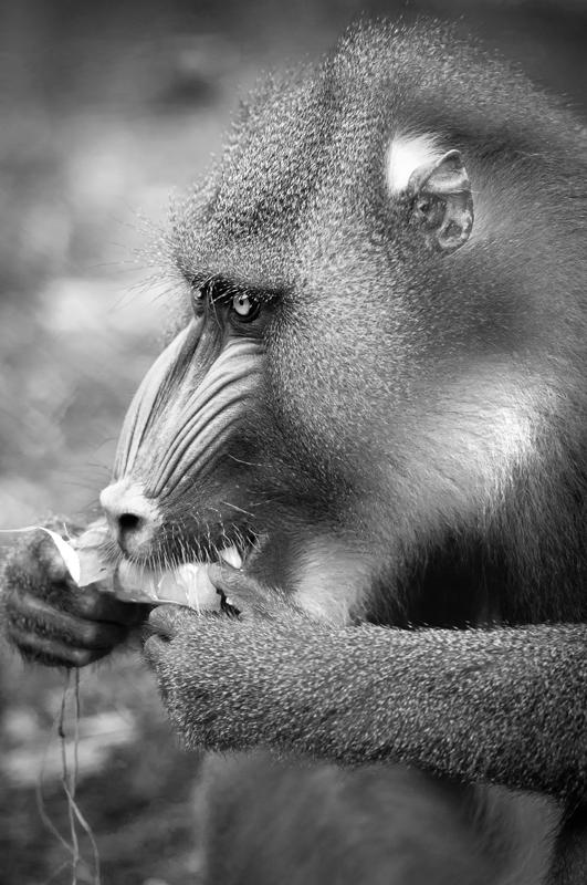 hungry - black and white - Nuria Blanco, Nature&Wildlife Photographer