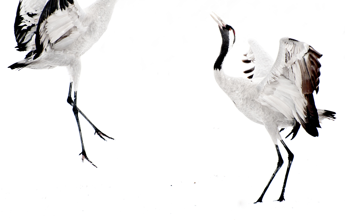 Grullas en la nieve - Pedro Javier Pascual , PHOTOGRAPHIC ARTIST