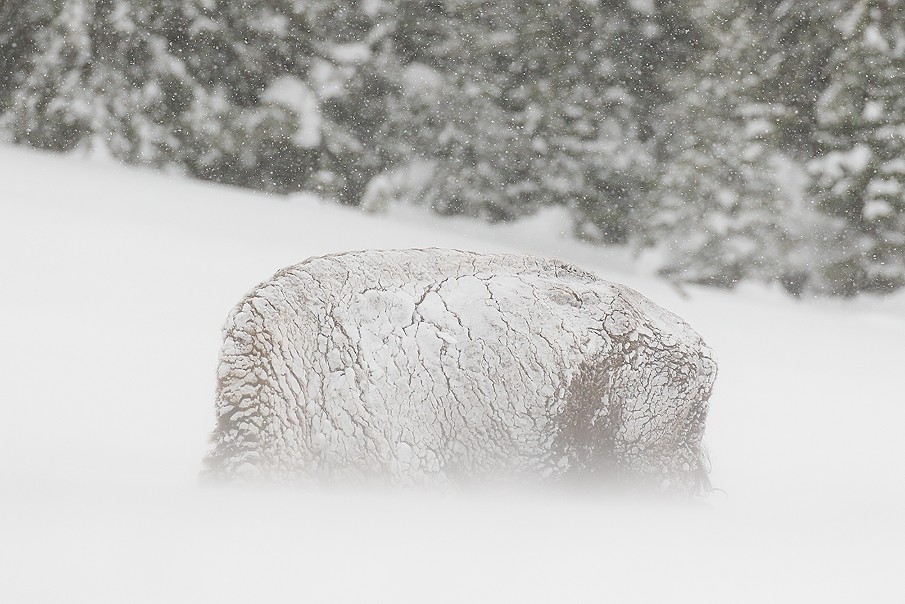 BYSON-YELLOWSTONE-USA - Fran Rubia - Portfolio Natural, Fotografía de Naturaleza de Autor