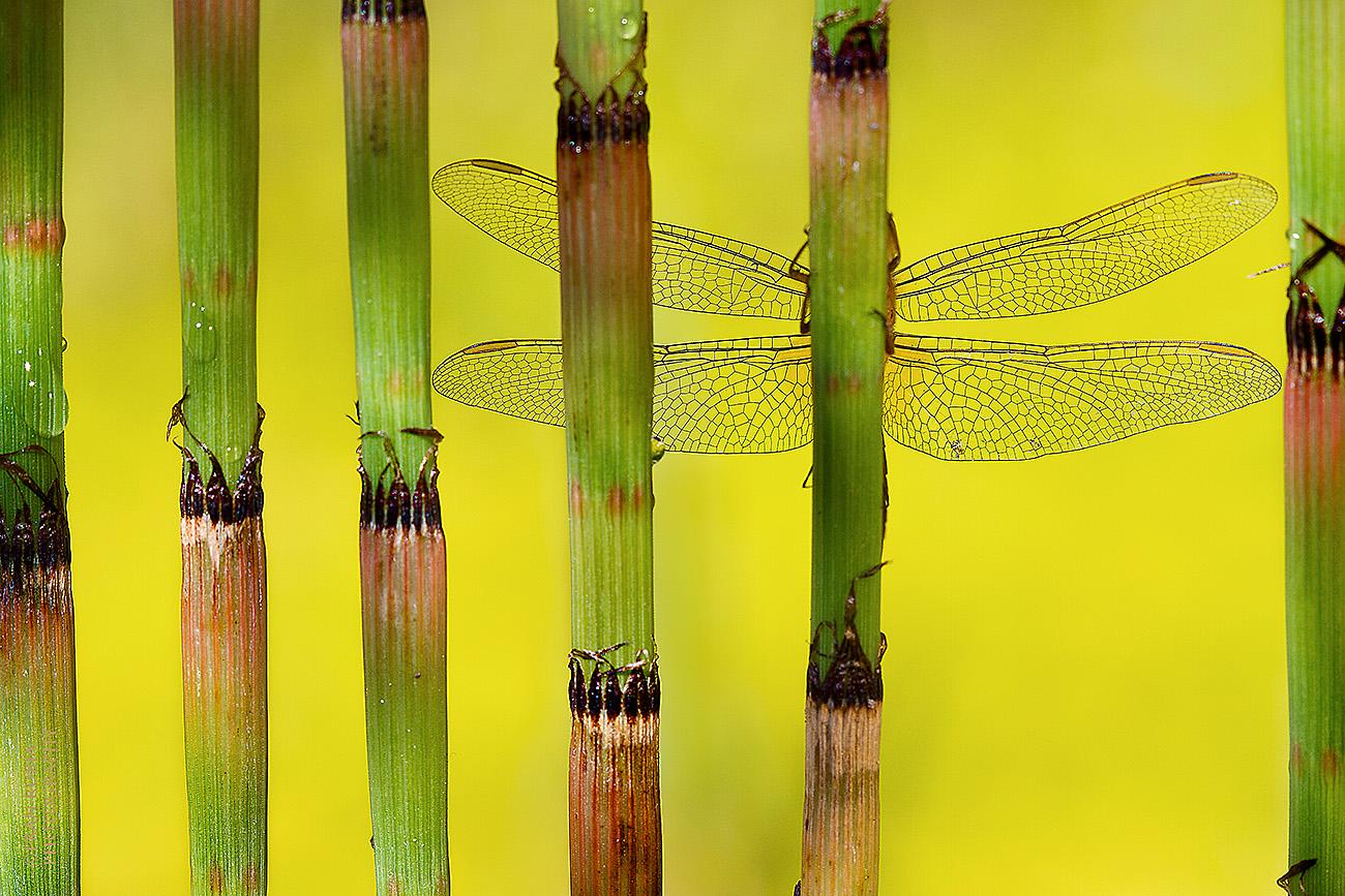 DE IMAGO A DRAGONFLY-ALMERIA-ESPAÑA - Fran Rubia - Portfolio Natural, Fotografía de Naturaleza de Autor