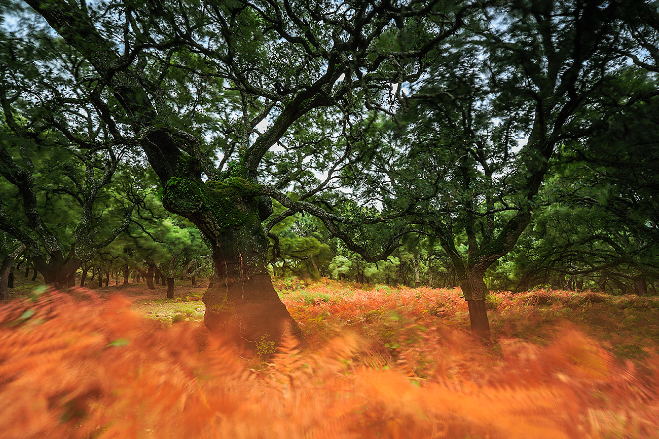 VENDAVAL-ALCORNOCALES-ESPAÑA - Fran Rubia - Portfolio Natural, Fotografía de Naturaleza de Autor