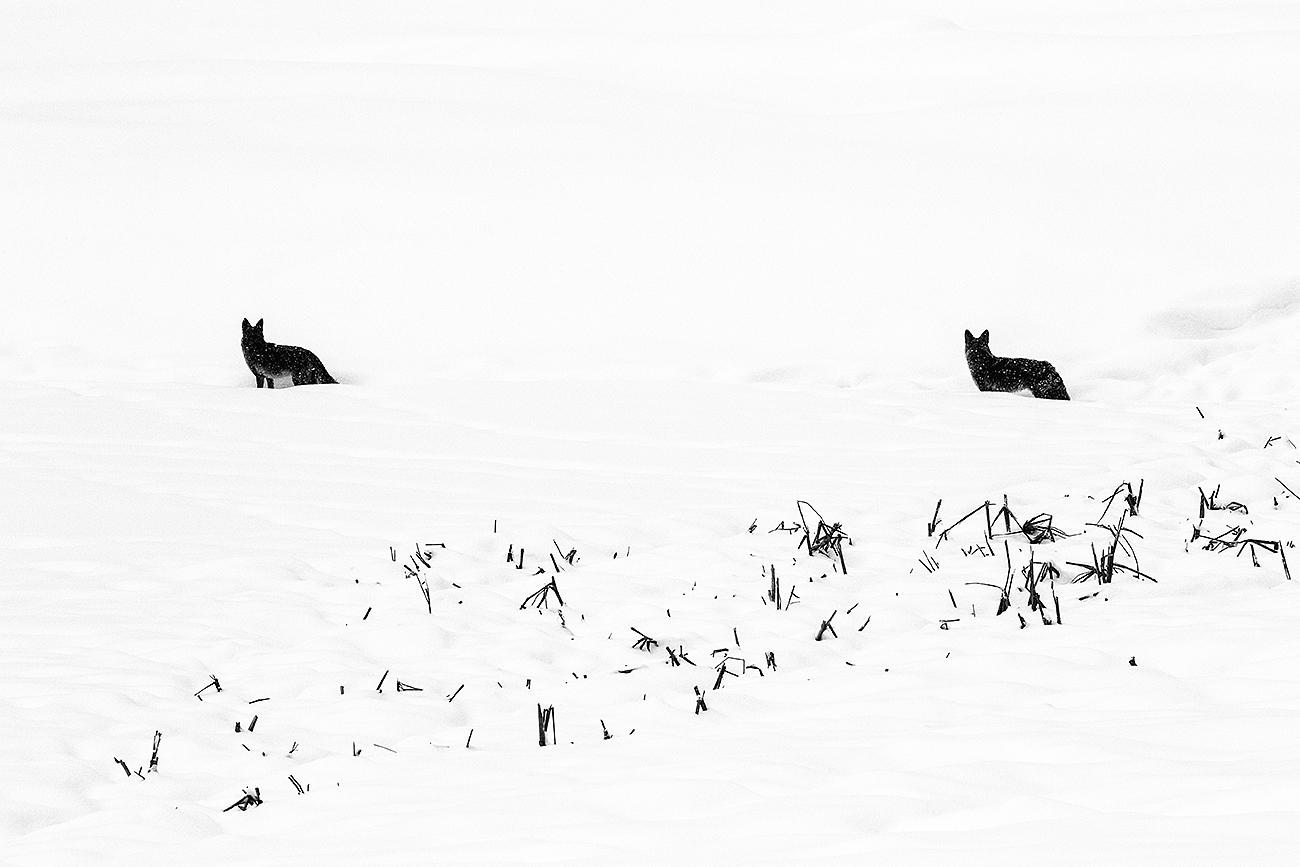 COYOTES-YELLOWSTONE-USA - Fran Rubia - Portfolio Natural, Fotografía de Naturaleza de Autor