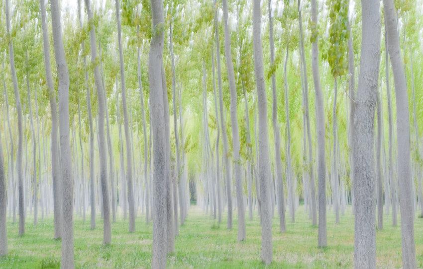 Chopera en primavera. Ribera del Rio Arga (Navarra) - Koldo Badillo - Fotografías de naturaleza de Koldo Badillo en Portafolio Natural