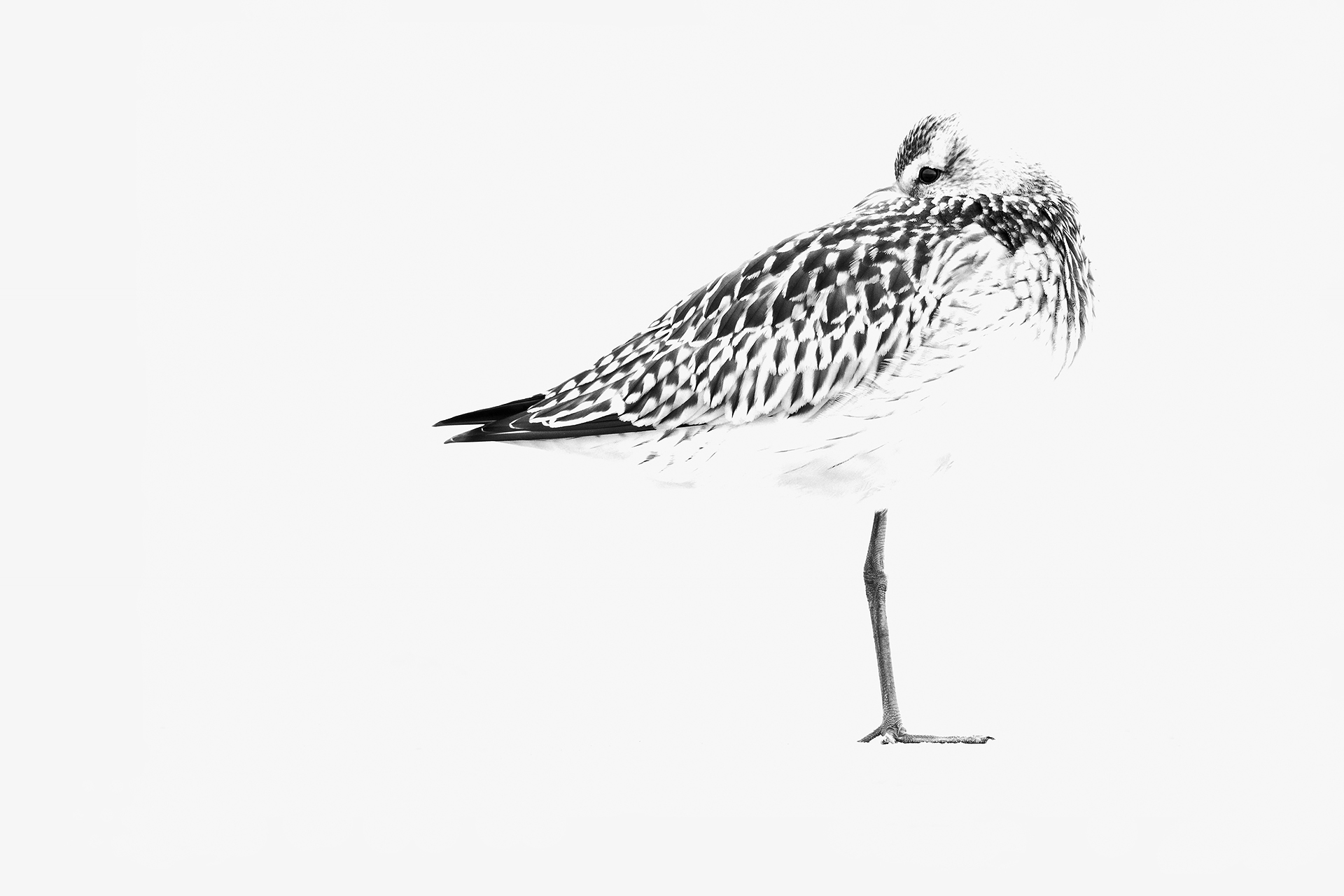 Carboncillo de aguja - Mario Suarez - Portfolio Natural, Fotografía de Naturaleza de Autor