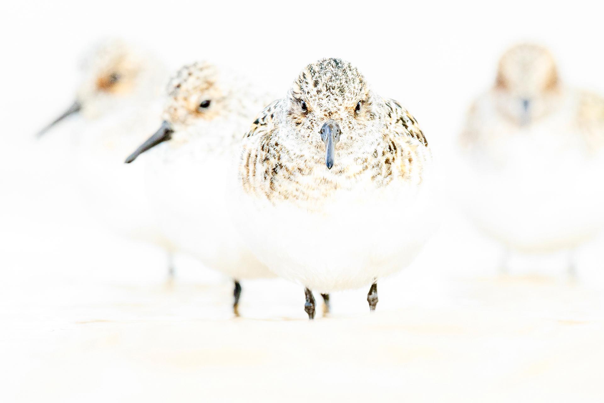 Four sanderlings - Mario Suarez - Portfolio Natural, Fotografía de Naturaleza de Autor