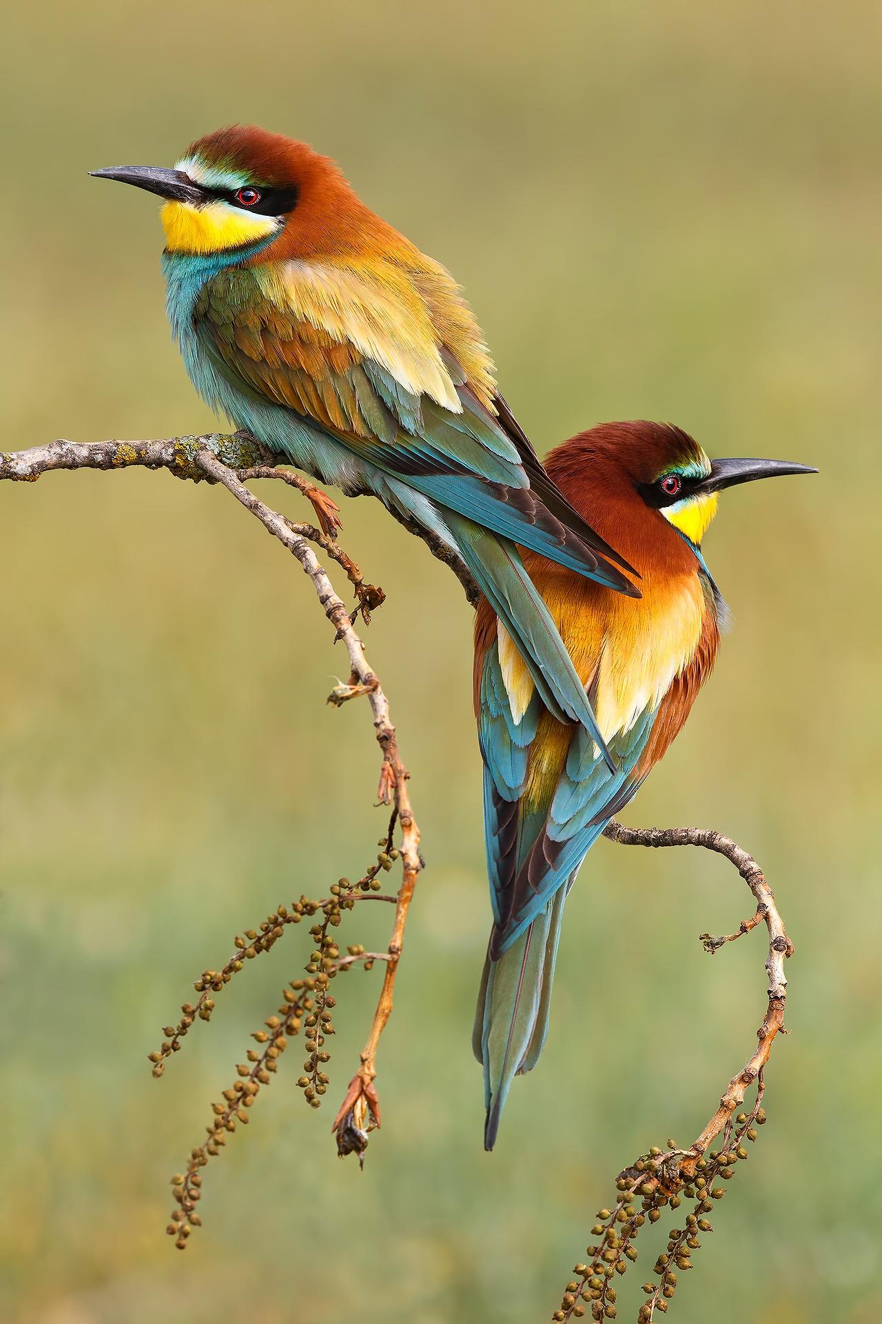 Amores de abejaruco - Mario Suarez - Portfolio Natural, Fotografía de Naturaleza de Autor
