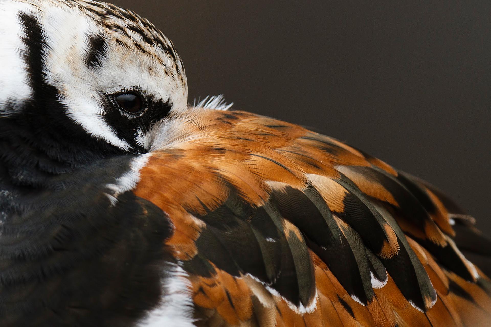Mirada de vuelvepiedras - Mario Suarez - Portfolio Natural, Fotografía de Naturaleza de Autor